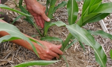 Hands touching corn leaves